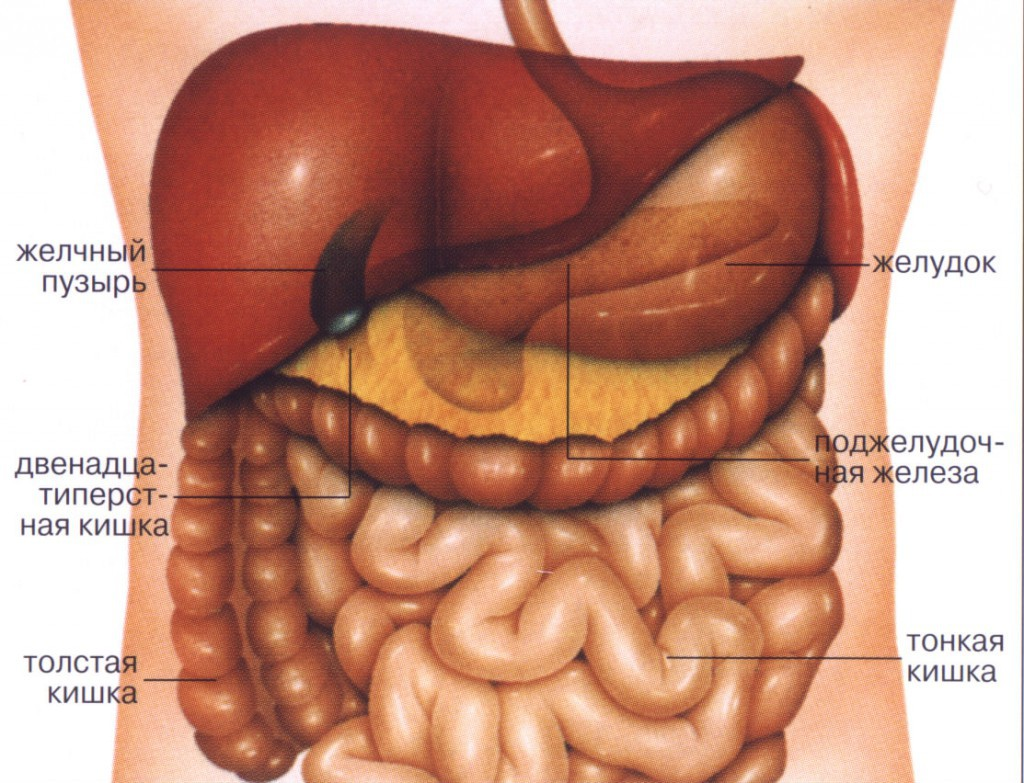 Анатомия живота